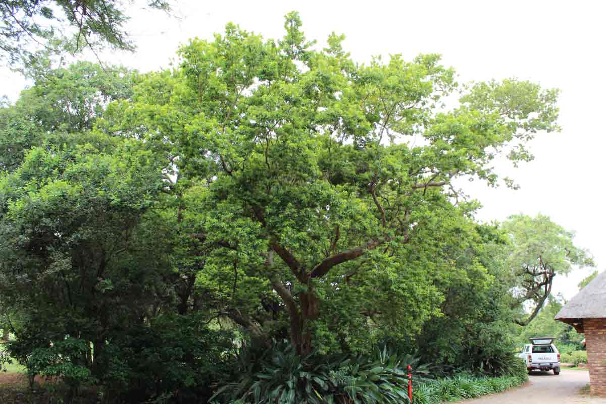 Combretum erythrophyllum_River Bush Willow / Vaderlandswilg_Specimen