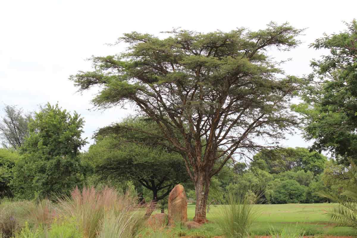 Vachellia sieberiana var woodii (formerly Acacia)_Paperthorn (Papierbasdoring)_Specimen