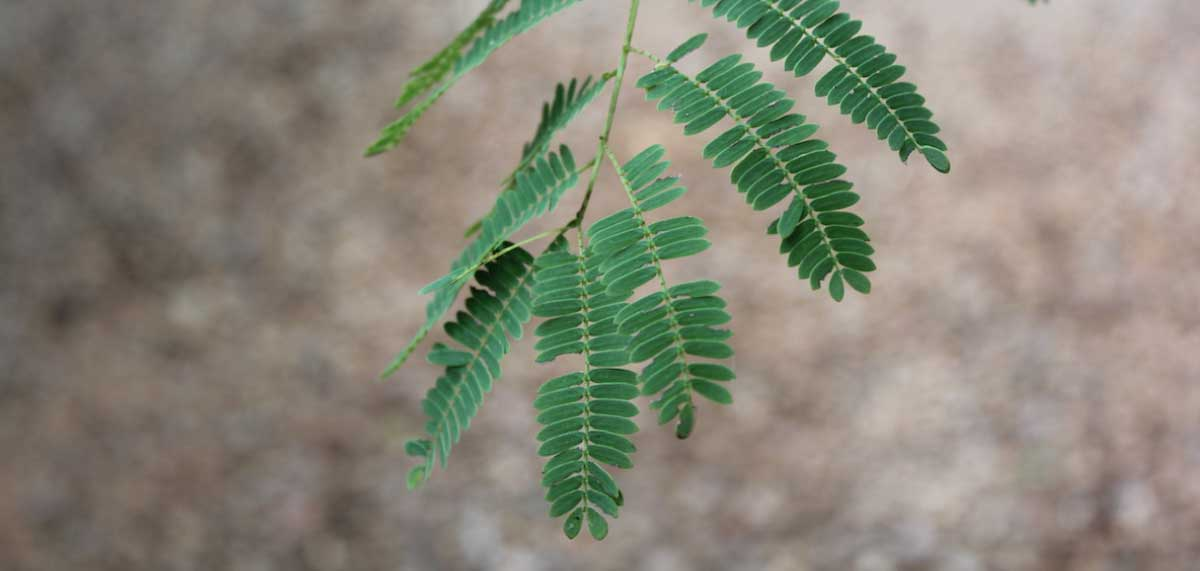 Senagalia galpinii_Monkey Thorn_Leaves