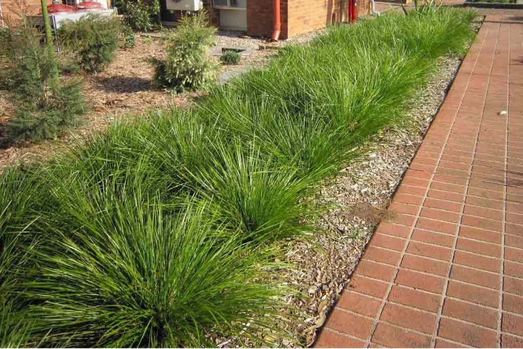 Lomandra longifolia 'Tanika'_Spiny headed mat rush_Specimen