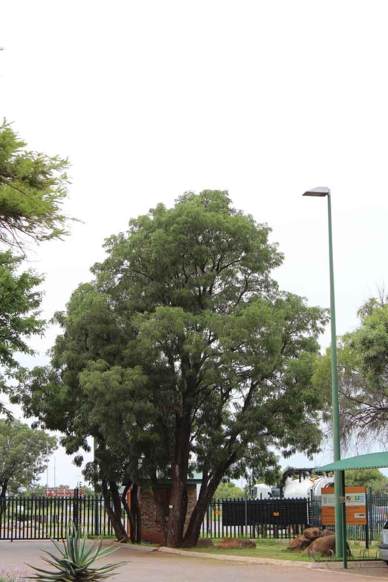 Bolusanthus speciosus_Tree wisteria_Specimen