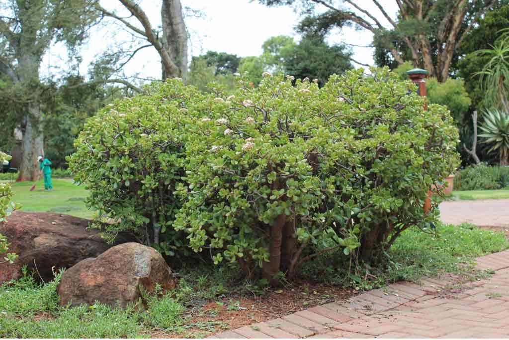 Crassula ovata_Jade plant_Pink joy_ Specimen