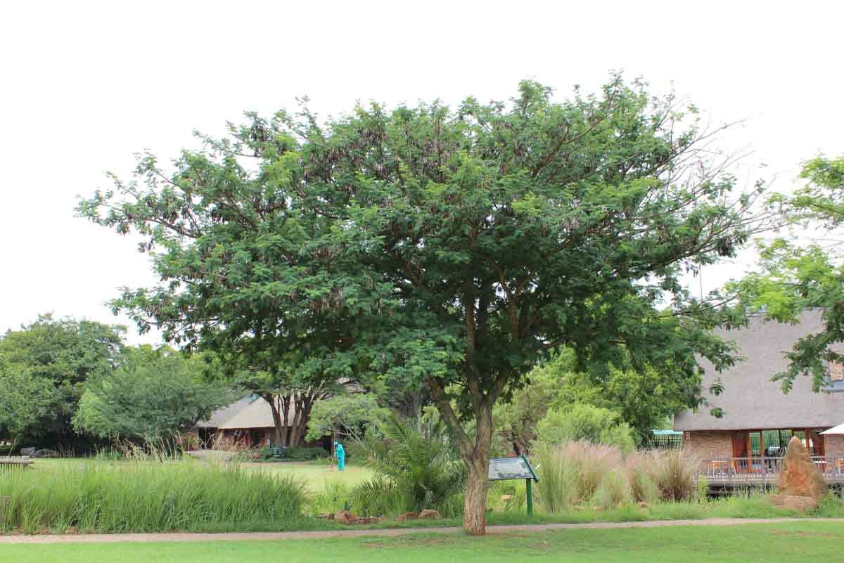 Senegalia (Acacia) burkei_Black-monkey Thorn/Swartapiesdoring_Specimen