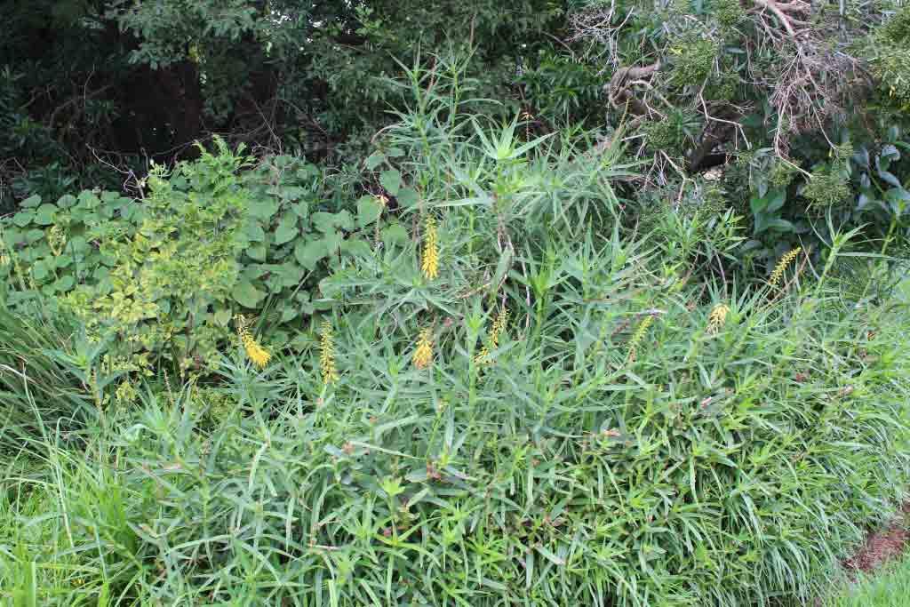Aloiampelos tenuior (Aloe tenuior)_Fence aloe Slender aloe_ Specimen