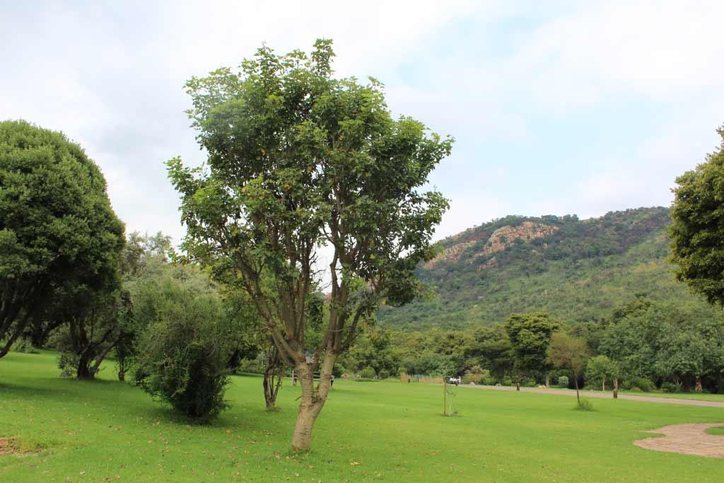 Erythrina lysistemon_Coral-tree_Specimen