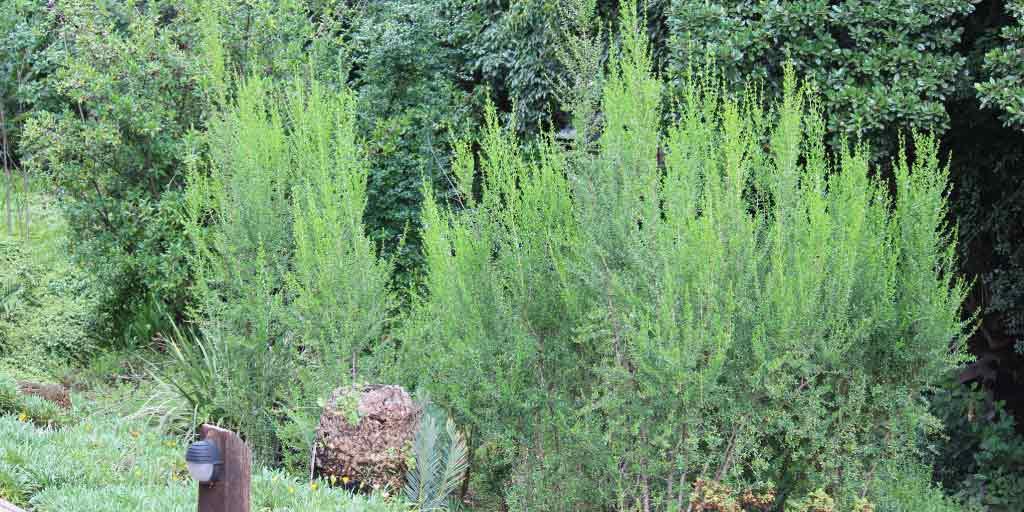 Freylinia tropica_Blue Honeybells (Blouheuningklokkies)_Specimen