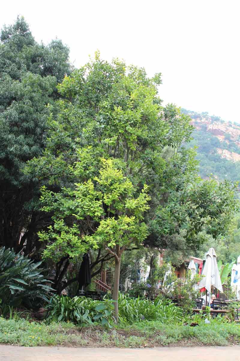 Dais cotinifolia | Pompom Tree /Kannabas_ Specimen
