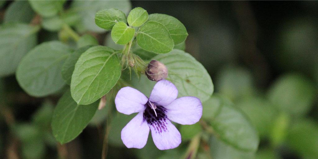 Barleria obtusa | Bush violet - Flower