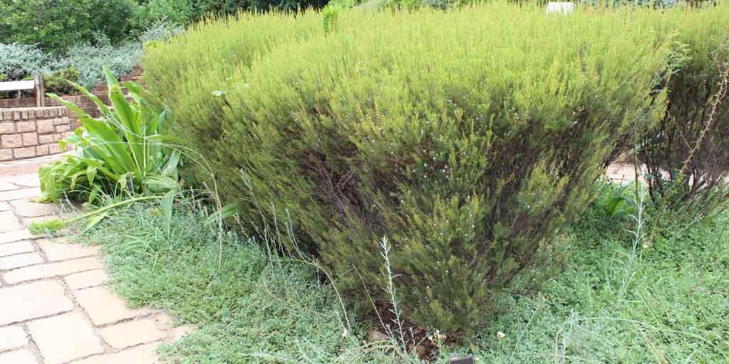 Coleonema pulchellum | Confetti bush - Specimin